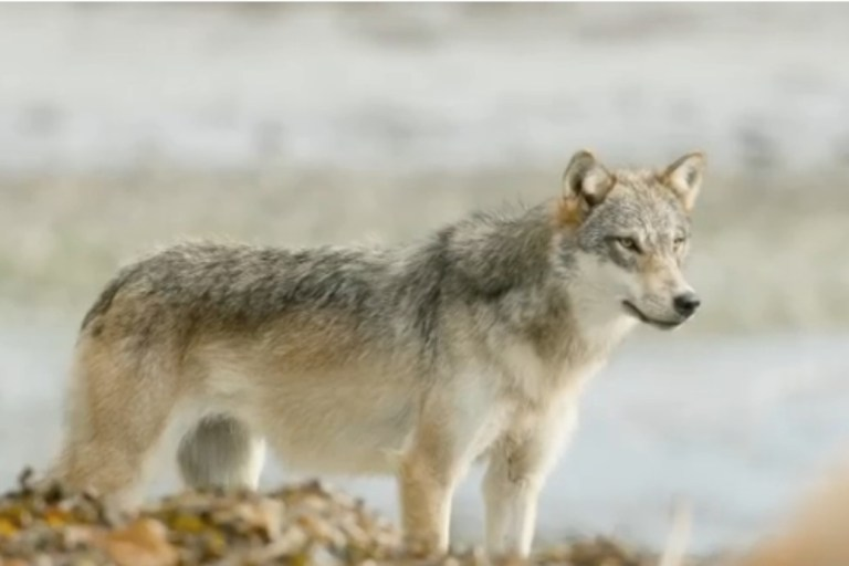 Narwhal article highlights urgent need to protect wolves