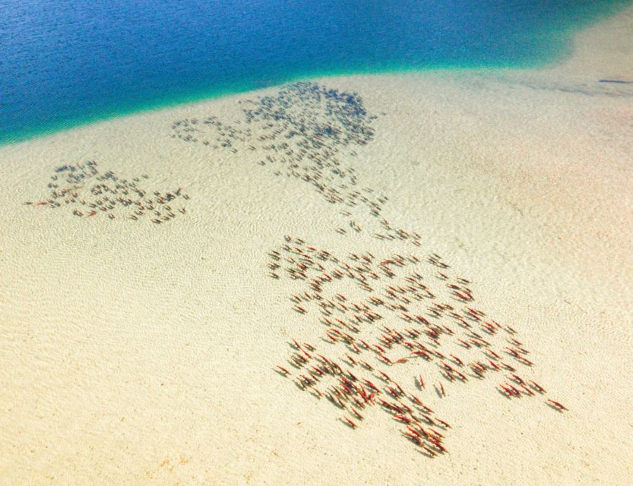 A school of red fish swim through very clear water, showing the sand beneath them.