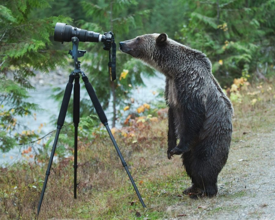 A grizzly bear standing on two legs looks through a large camera on a tripod by the river.