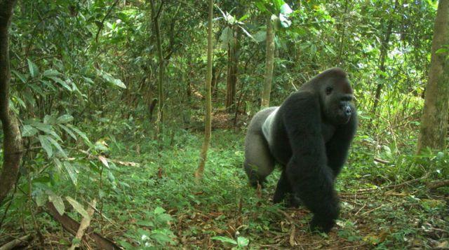 gorilla habitat in nigeria