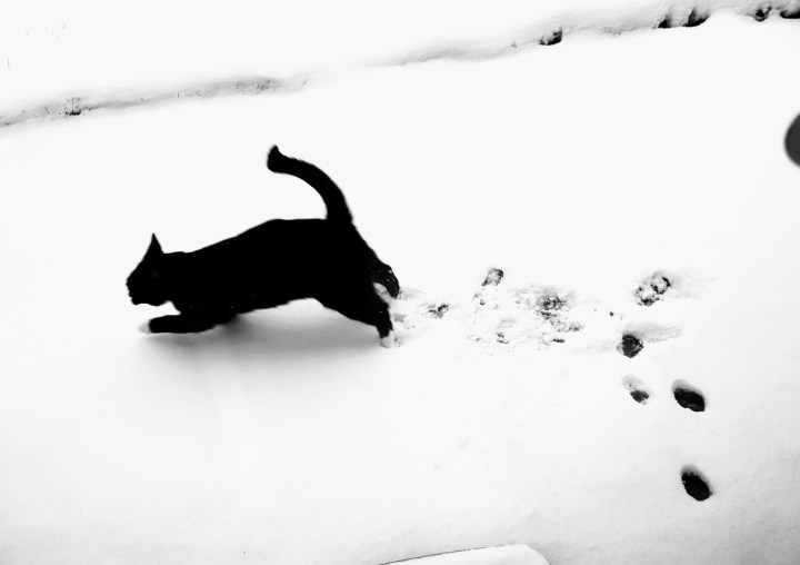 black cat leaping on the white snow