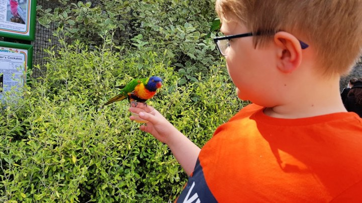 The Little man holding a lorikeets while wearing an orange and blue t-shirt