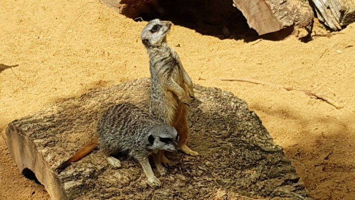 Two meerkats on a log in the sand. One is standing upright on it's back legs, the other one is on all four legs beside it.