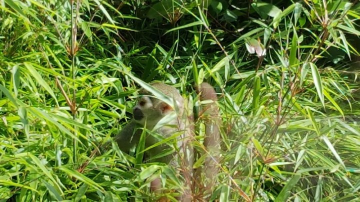 a little monkey hiding in the grass