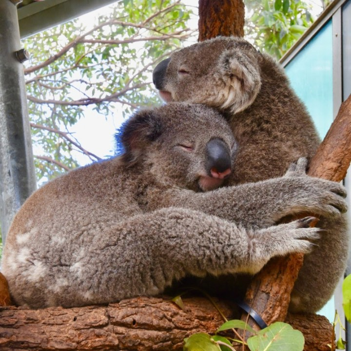 two koala bears hugging
