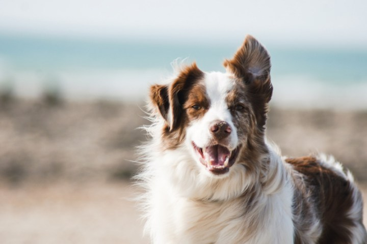 stock photo of a dog with his mouth open showing his teeth