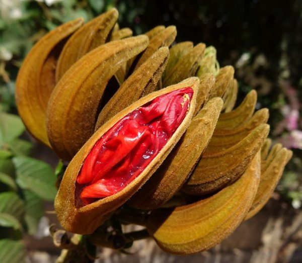 red-petalled center of one husk amid brown husks, opening