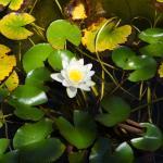 Езеро с водни лилии на Къща за гости Райски Кът Мезек
