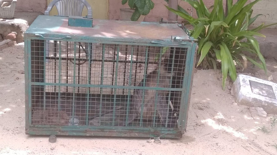 Furious monkey finally caught in Jalore