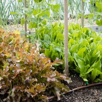 Broadcast Sowing: My Favorite Way to Plant Lettuce