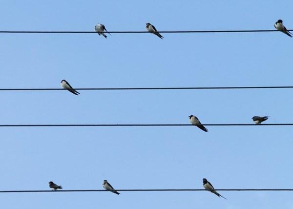 Les hirondelles une bande fond de ciel bleu fil électrique