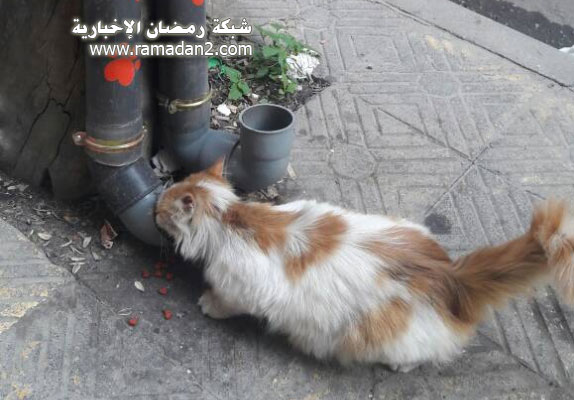 Halab-Syria-Katzen-4