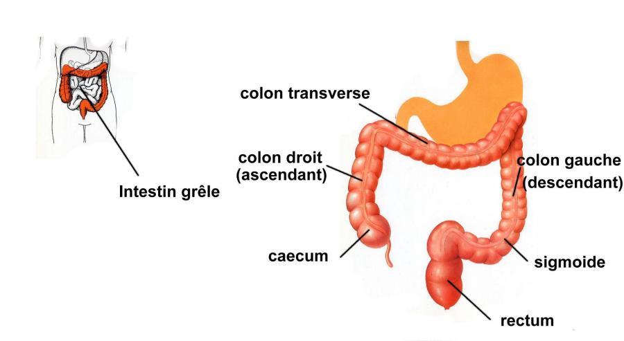 Observation de l'intérieur d'une partie des intestins