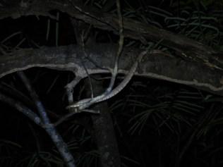 Fer-de-lance snake in the tree.