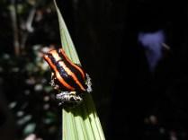 Poison-dart frog.