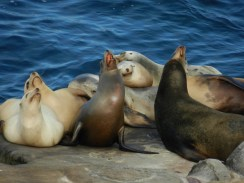Sea lions basking.
