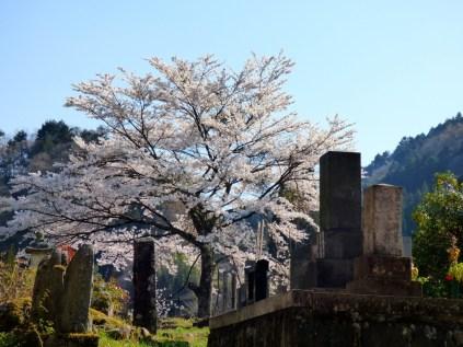 Cherry blossom at Tsumago.