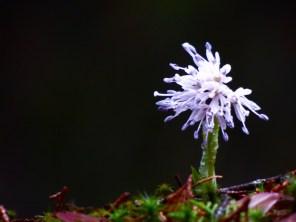 Koyosan flower.