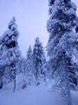 Snow encrusted trees.