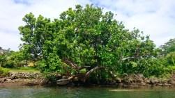 Banyan tree.