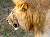 Male lion.