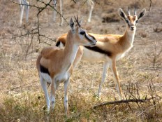 Thompsons gazelle.