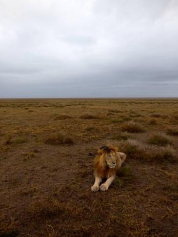 Lion in the rain.