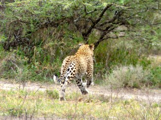 Leopard on the run.