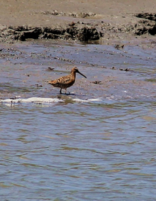 A whimbrel looking for a little dinner