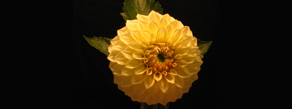 https://i2.wp.com/www.ramonaluengen.com/wp-content/uploads/2013/01/2008-Dahlia-Hybrid-personally-named-after-Ramona.-Originator-Gordon-Stach..jpg?resize=960%2C360