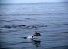 Wild Dolphins | Fuerteventura