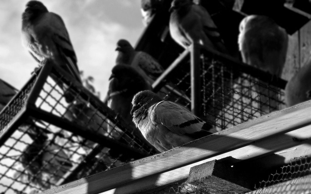 Death and Pigeons at Dawn