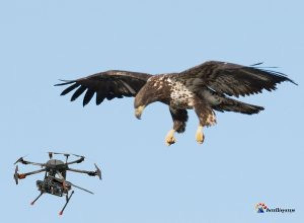 Aquila cattura drone - Intellisystem