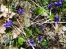 Violettes (photo Belisaire, Yvan