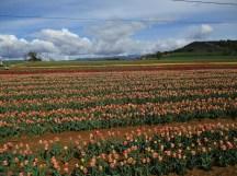 Tulipes roses