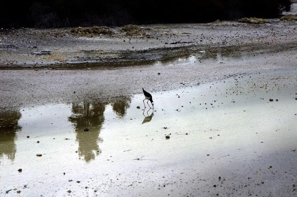 Bird in Wai-o-tapu Thermal Park