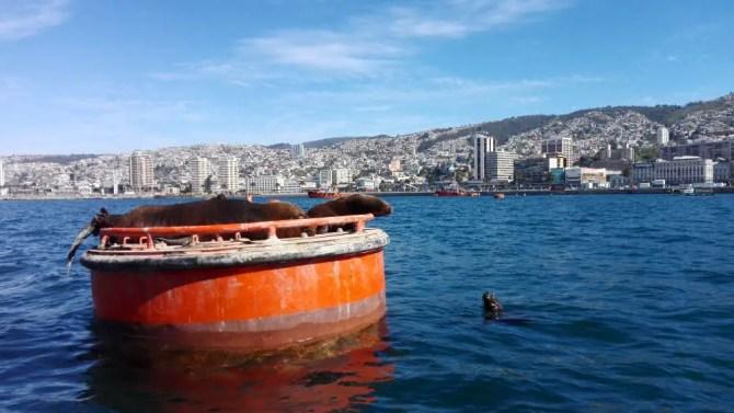 Valparaíso - Sea lions