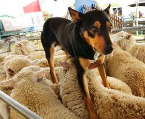 SHEEP SUCK