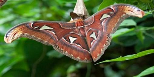 Atlas Moth1