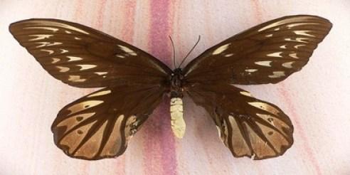 Queen Alexandra bird wing1
