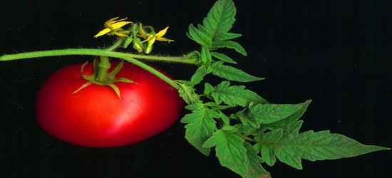 Tomatoes are Vegetable