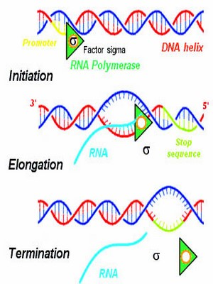 RNA Based Therapeutics