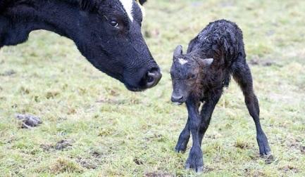 Mystery Calf Disease