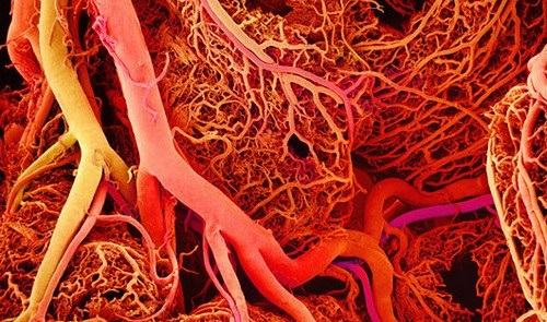 blood vessels laid end to end