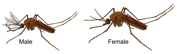 male female mosquitoes