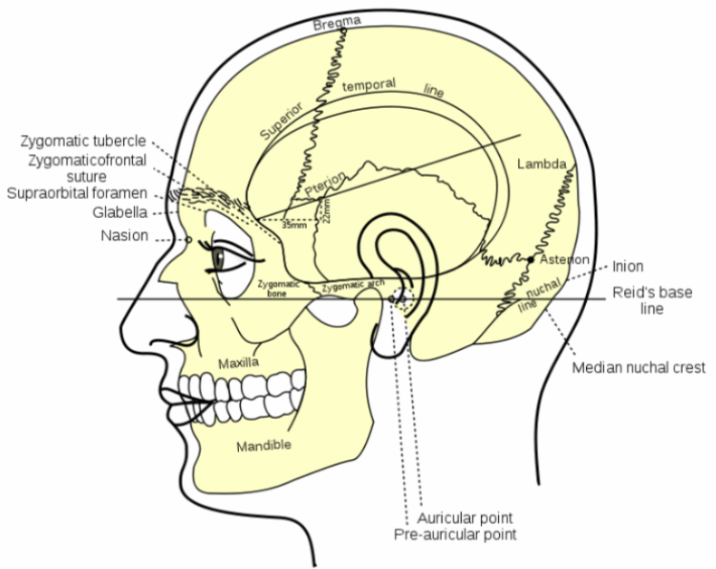 side of the head