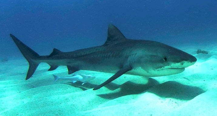 A juvenile tiger shark