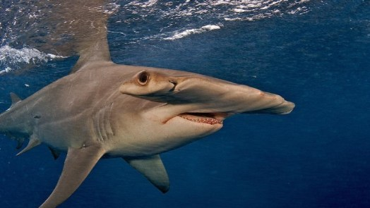 Great hammerhead - types of sharks