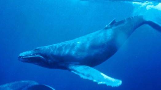 Humpback - different types of whales