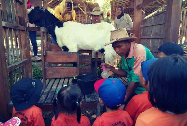 memerah susu kambing